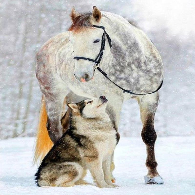 Husky And Horse